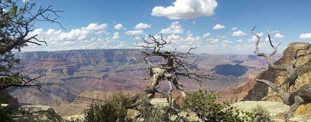 Un vecchio albero sul Grand Canyon in una bellissima giornata.